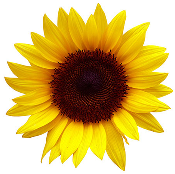 Sunflower - PNG image with transparent background