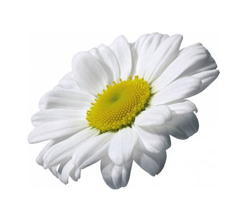 Chamomile - PNG image with transparent background