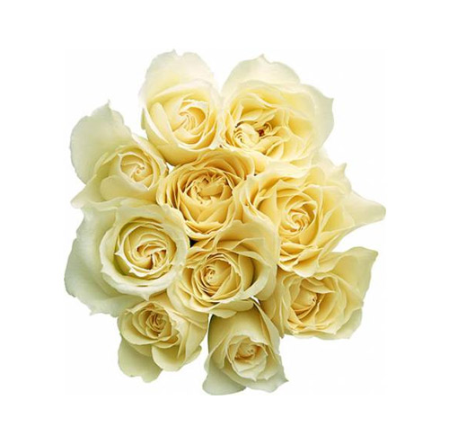 White Rose - PNG image with transparent background