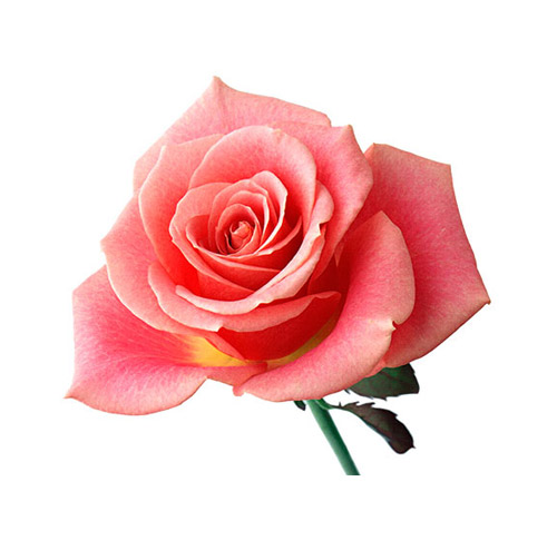 Pink Rose - PNG image with transparent background