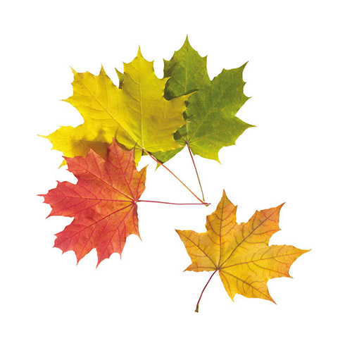 Autumn Maple Leaves - PNG image with transparent background